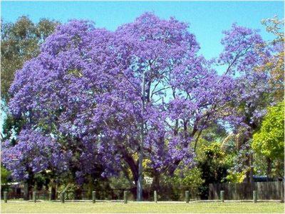 blue flamboyon tree