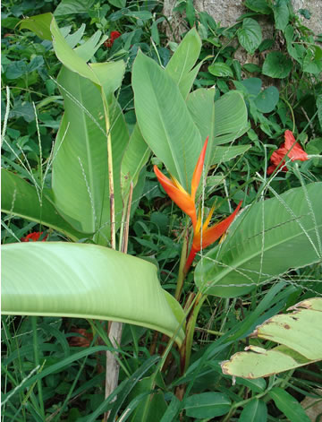 heliconia flower puerto rico