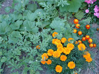 marigolds in a garden repel insects