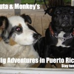 Preparing to Fly Dogs to Puerto Rico