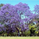 PUERTO RICOS MOST WANTED – BLUE FLAMBOYAN TREE