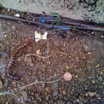 Giant Centipede vs. Summer